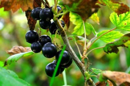 Почему желтеют и сохнут листья у смородины