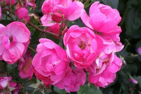 Роза флорибунда: лучшие сорта для Подмосковья