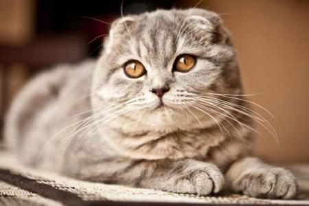 Шотландские вислоухие кошки: описание, характер и уход