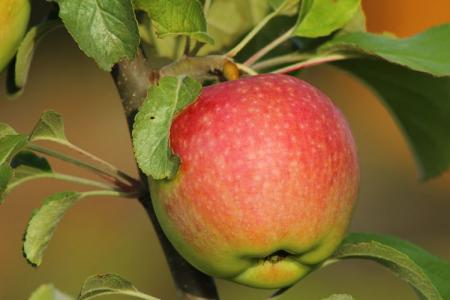 Яблоня Медуница: описание сорта, уход и посадка