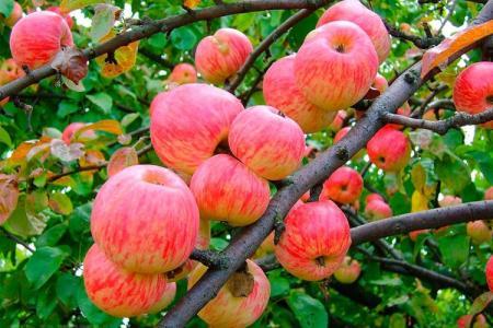Яблоня Мельба: описание сорта, уход и посадка